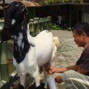 susu-kambing